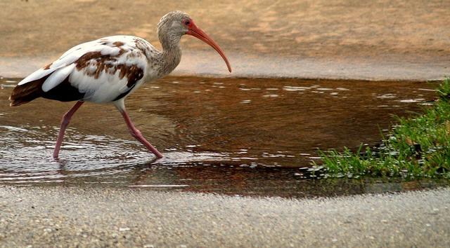L'ibis est un oiseau qui effectue régulièrement des lavements par le c**.