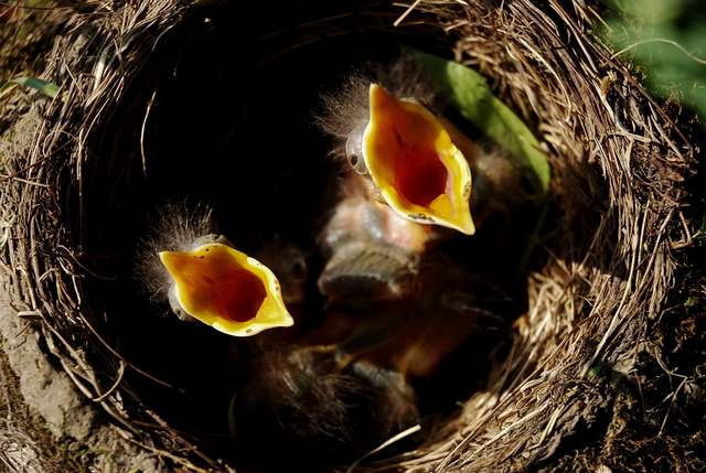 Tel un jeune oisillon glouton, le jéjunum est la partie de ton intestin qui a faim !
