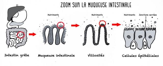 Zoom intestin grêle : muqueuse intestinale, villosités, cellules épithéliales.